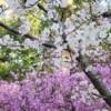 近所のツツジがキレイに咲いていました