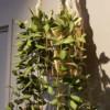 カウンセリングルームの植物【ホヤ】が人気なんです!